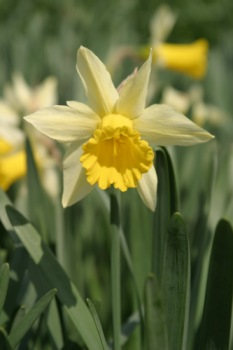 Daffodil in a field.