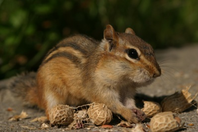 Chipmunk among peanut shells.