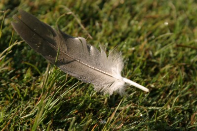 Dew covered feather on the grass.